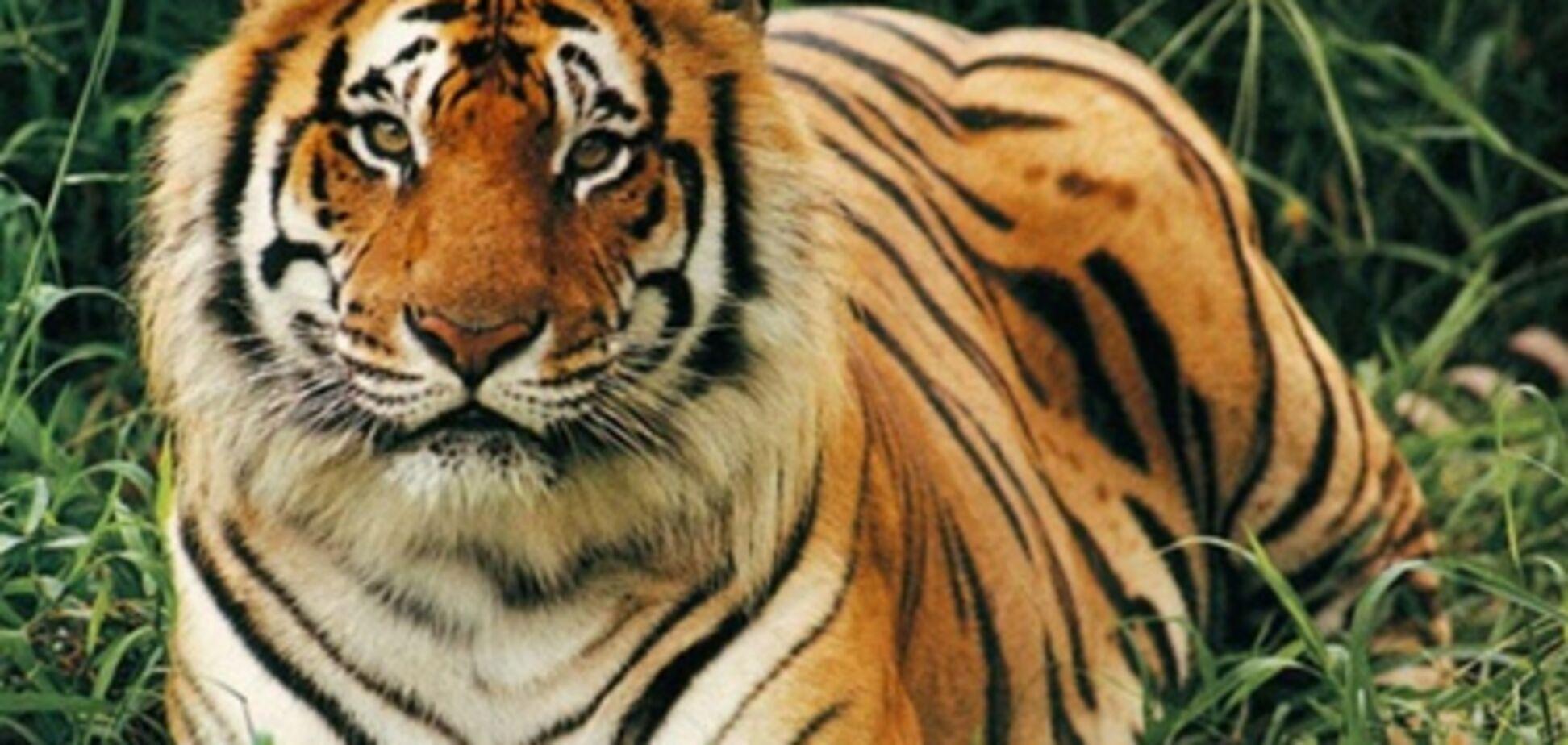 Домашнее животное - тигр