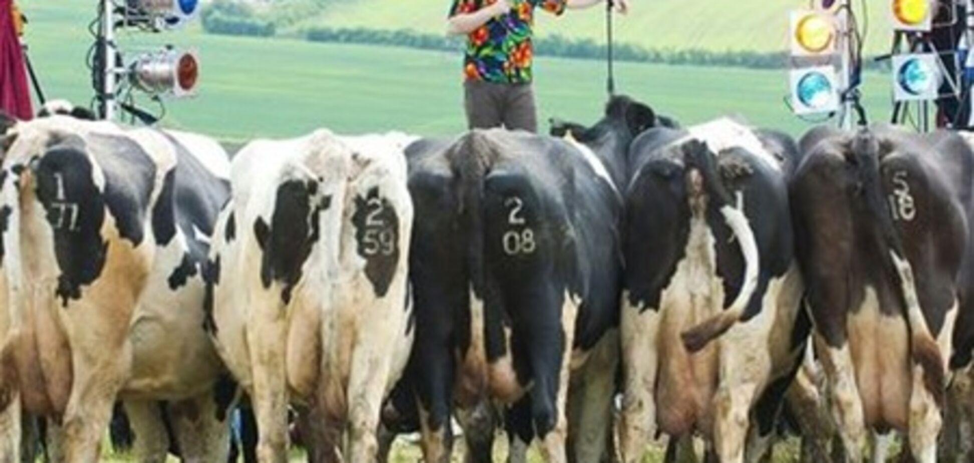 Комик выступил перед стадом коров голштинской породы
