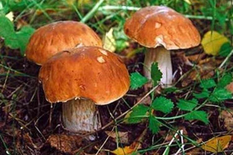 "Результат пошуку зображень за запитом ""отруйні гриби"""