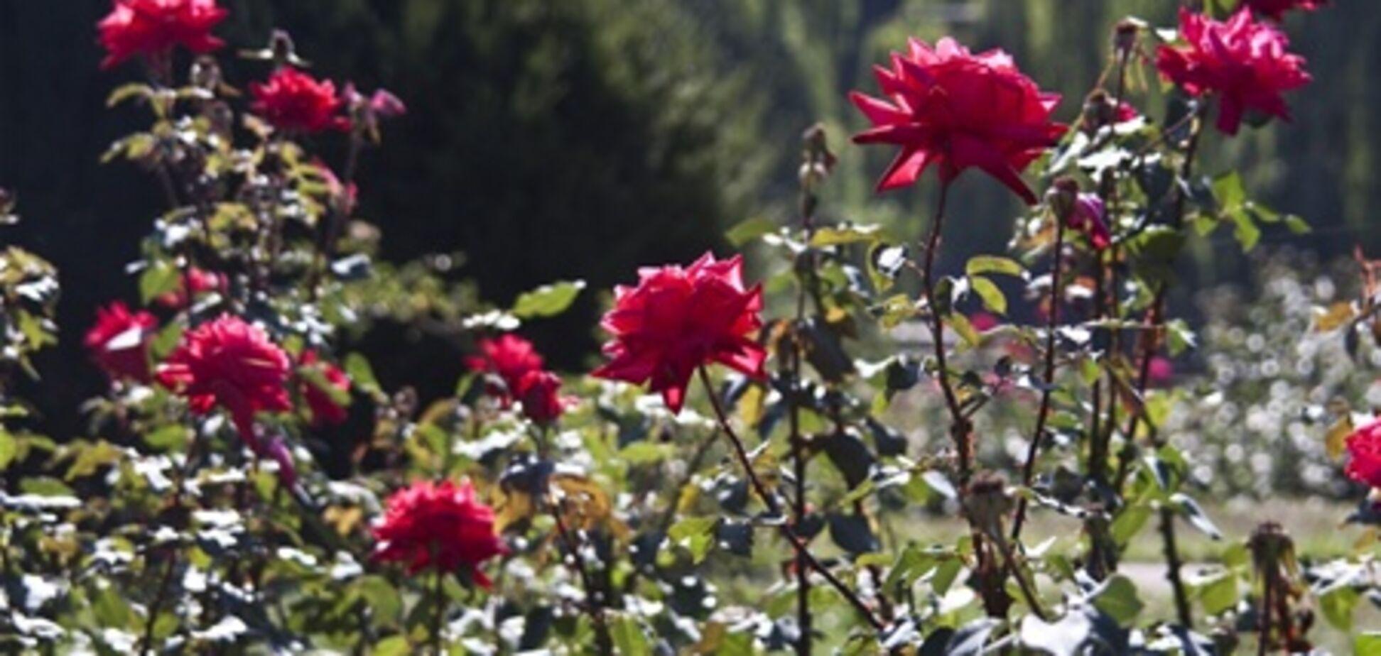 У Бельгії зацвіли троянди
