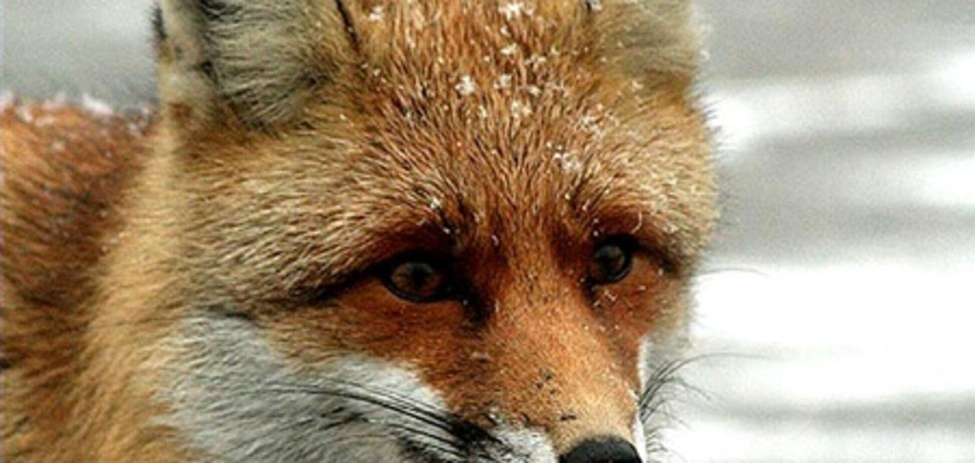 В Великобритании лиса ограбила мужчину