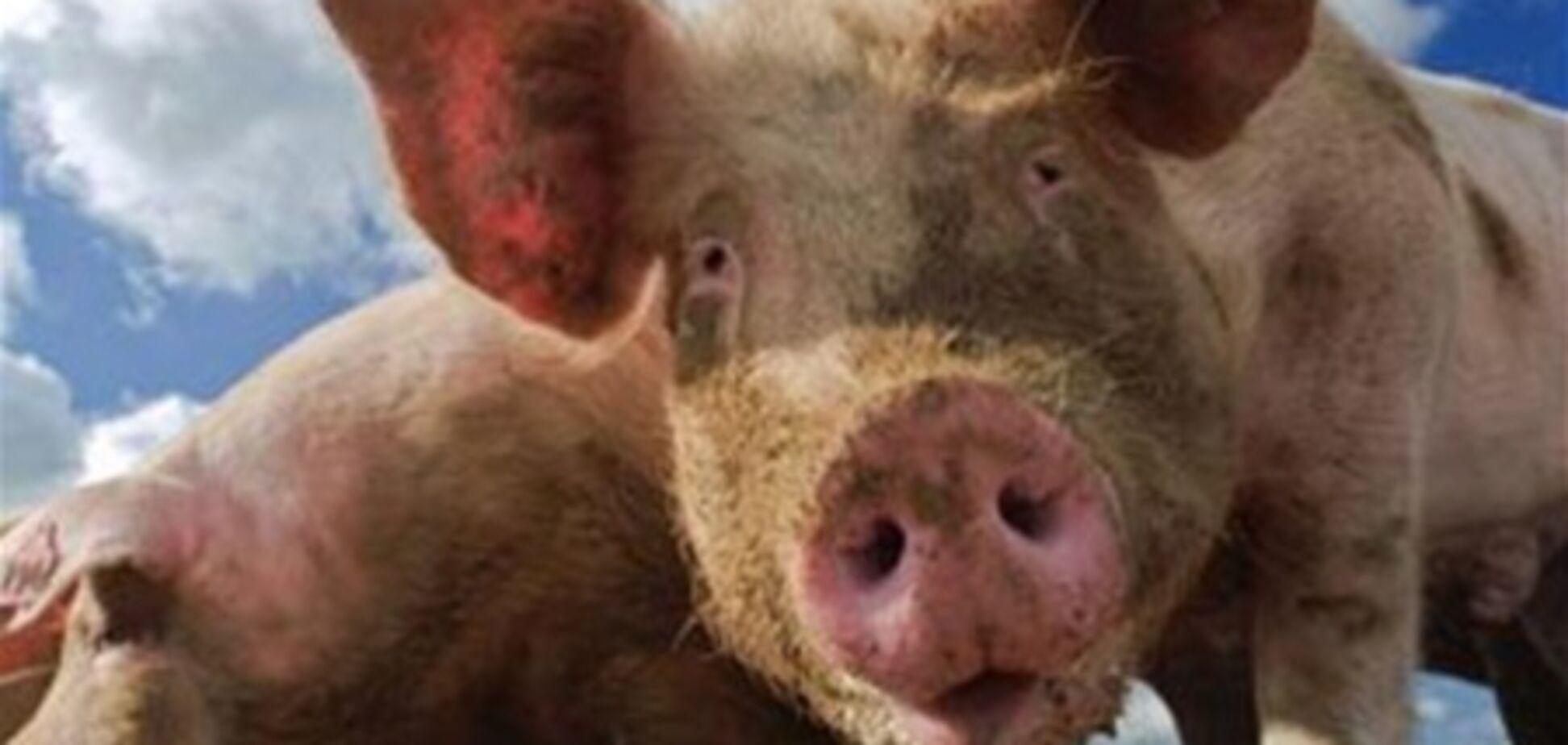 В Сумской области  при пожаре на ферме сгорели 150 свиней