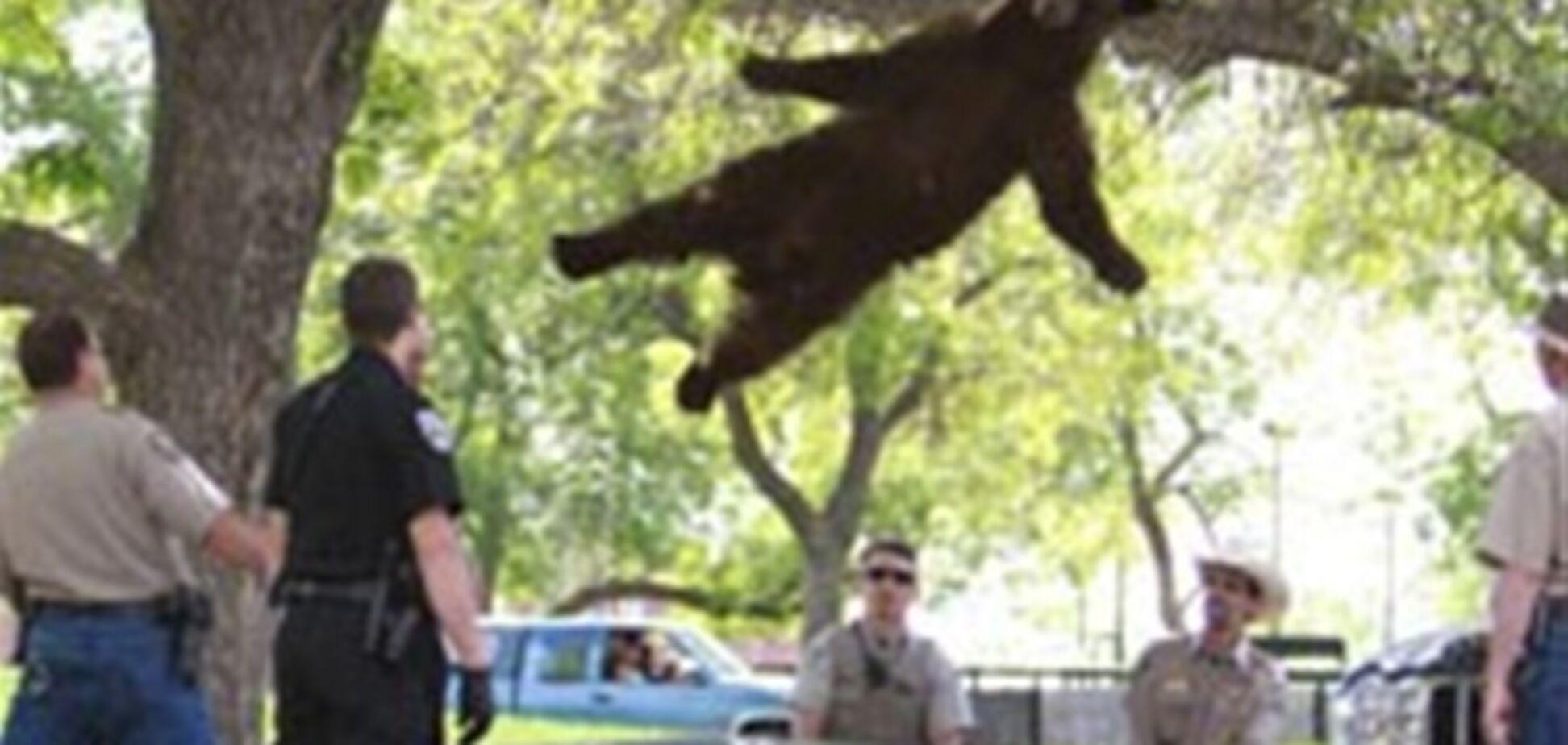 У США сплячий ведмідь звалився з дерева. Відео