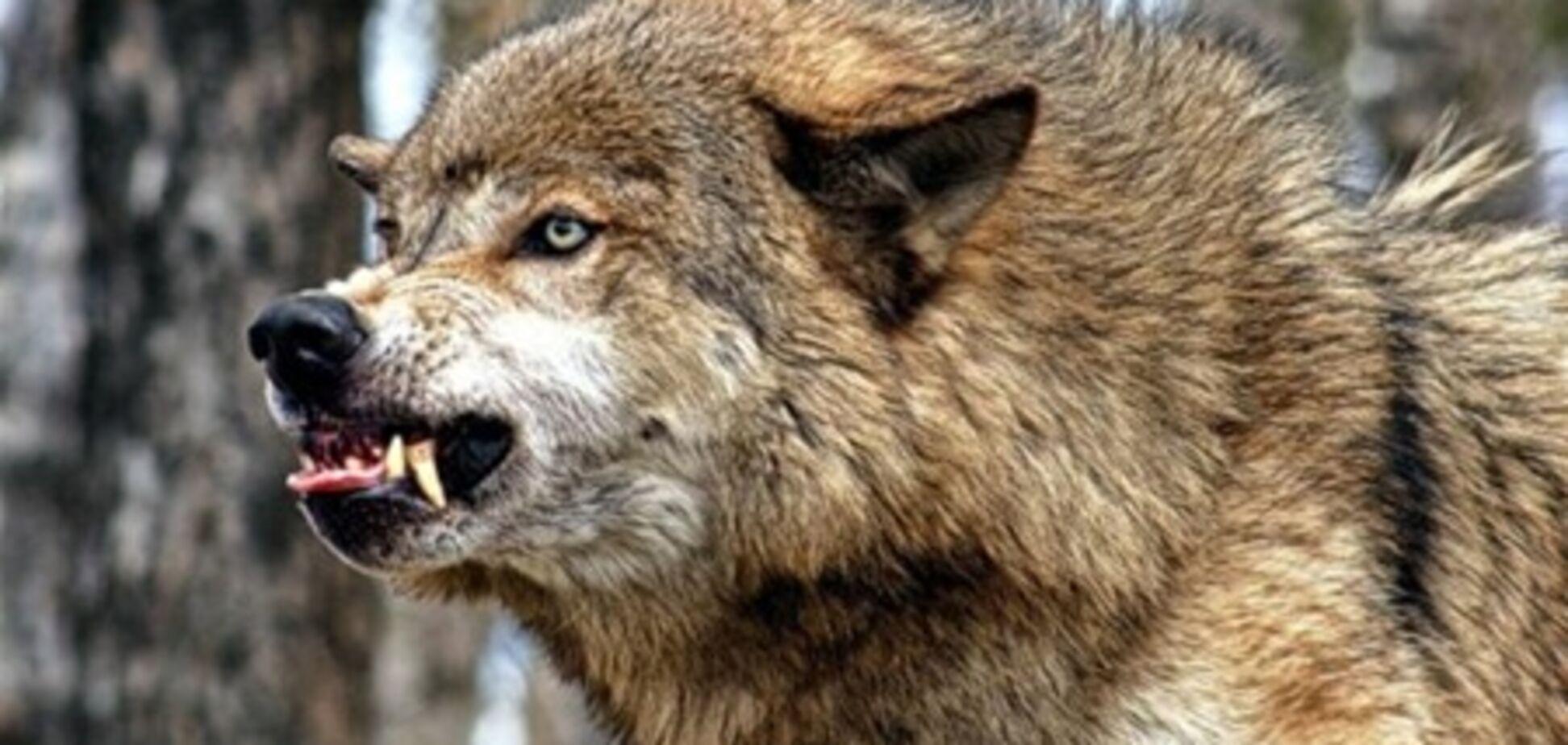 Волк, нападавший на людей в Крыму, оказался больным бешенством