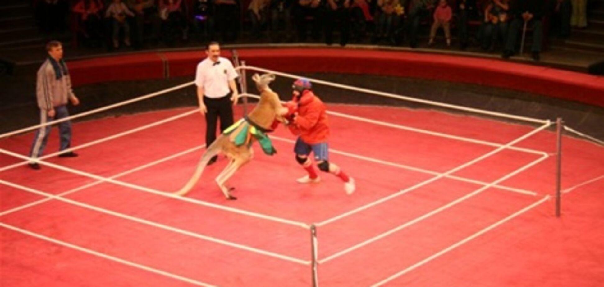 Австралійський кенгуру переміг одразу трьох російських боксерів. Відео