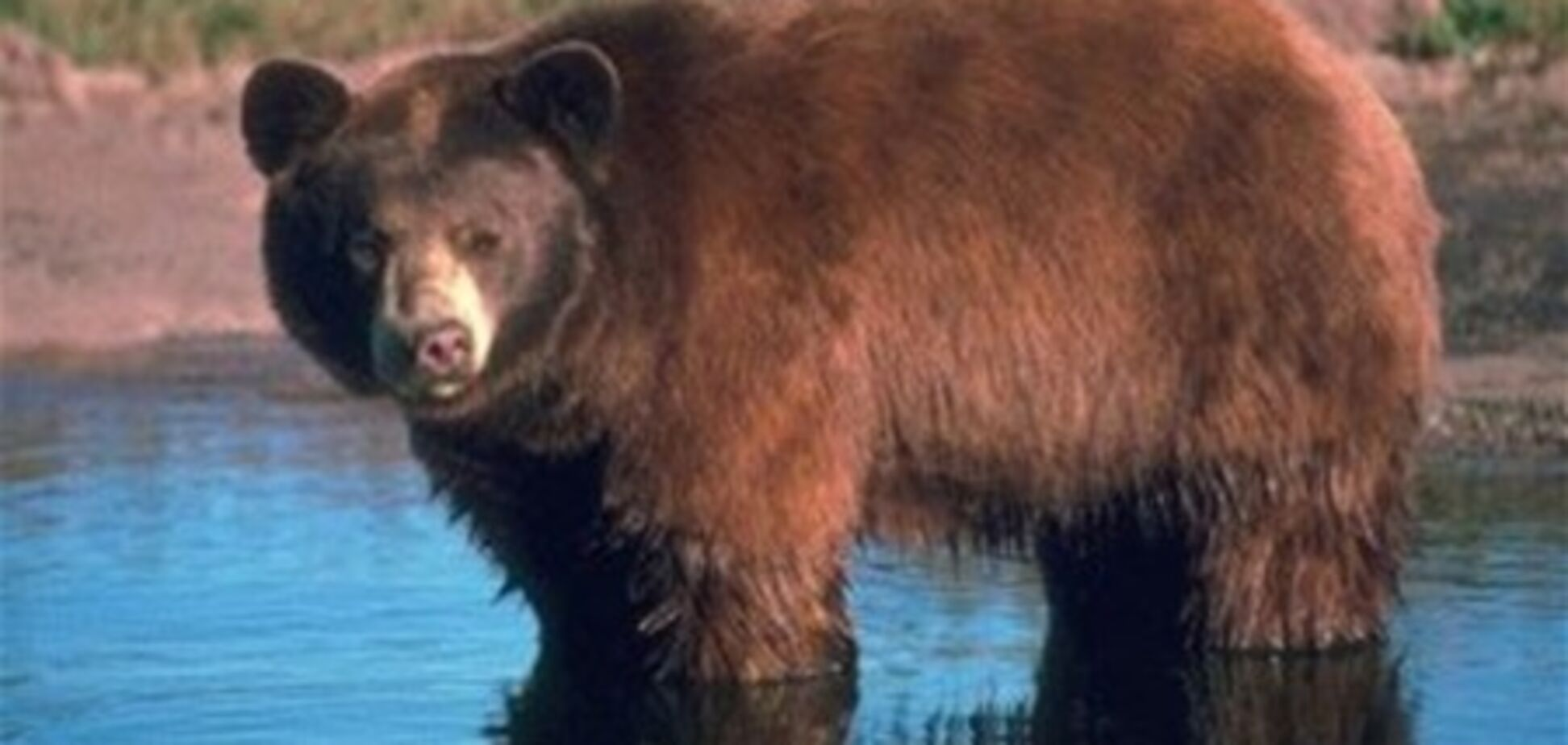 У Канаді засудженого за вбивство з'їв ведмідь