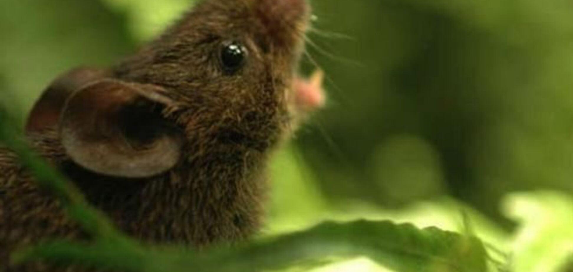В лесах Центральной Америки нашли поющих хомячков