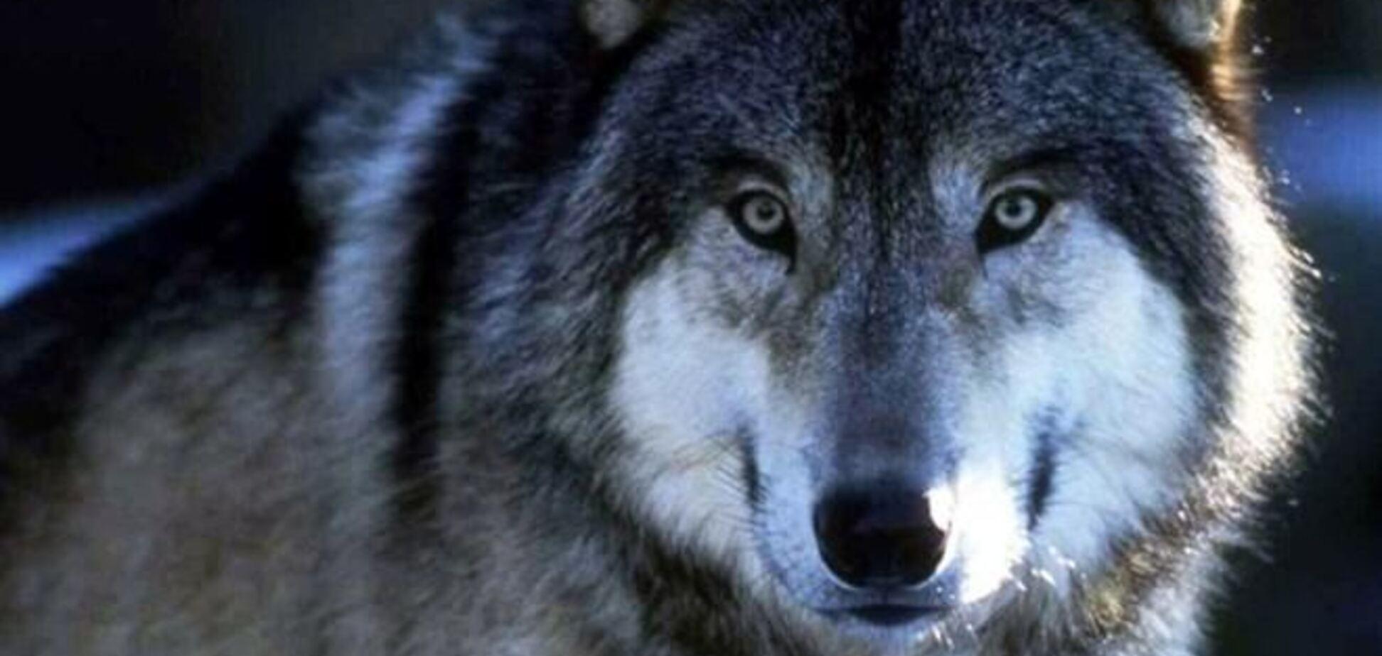 В Крыму нашествие волков: хищники добрались до Симферополя