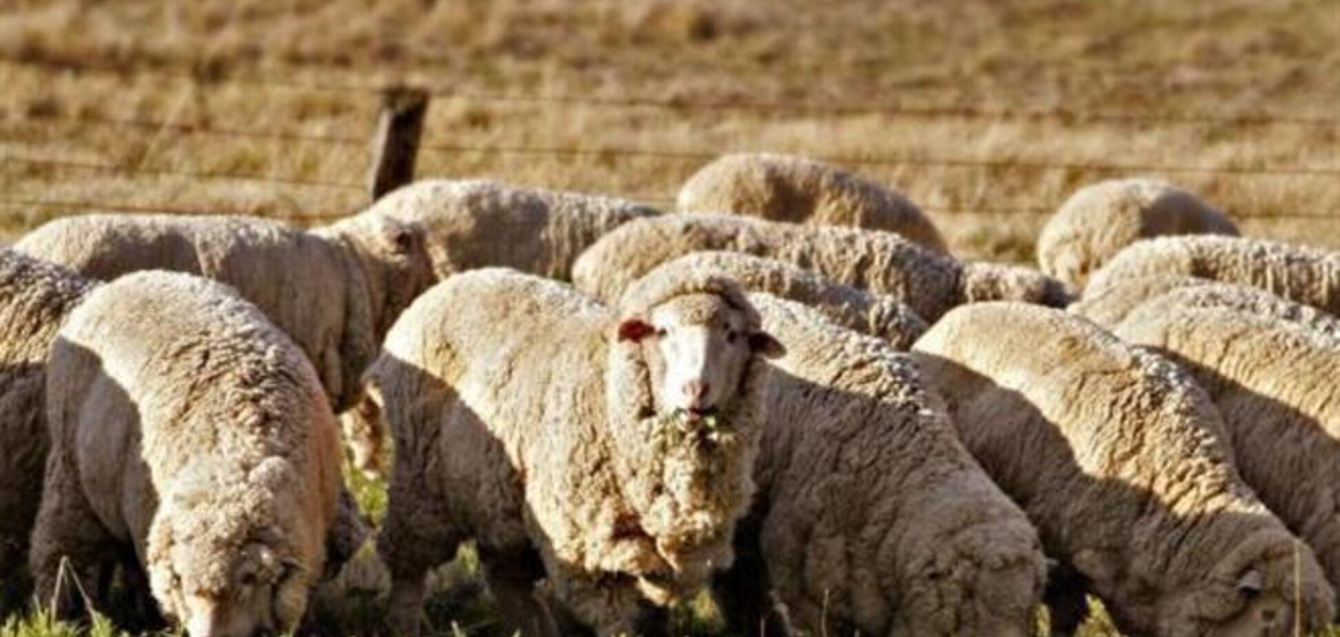 Коровам, козам і баранів заборонили ходити вулицями Душанбе