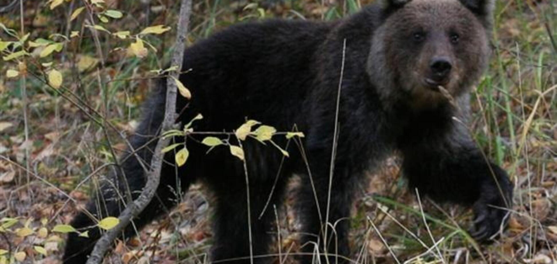 Суровые российские медведи не могут устоять перед борщом