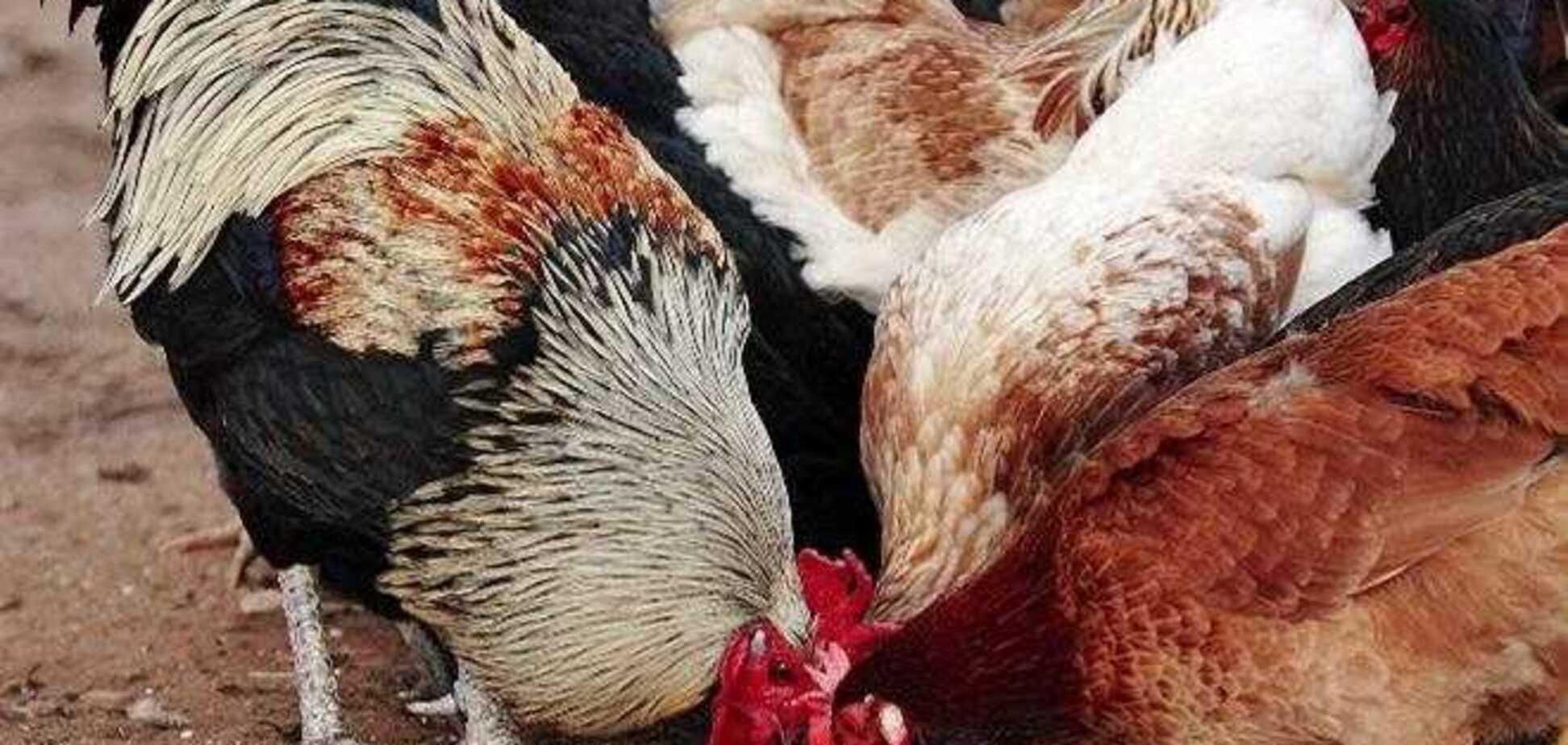 Опасное мясо и яйца: украинцам сказали, как обезопаситься от птичьего гриппа