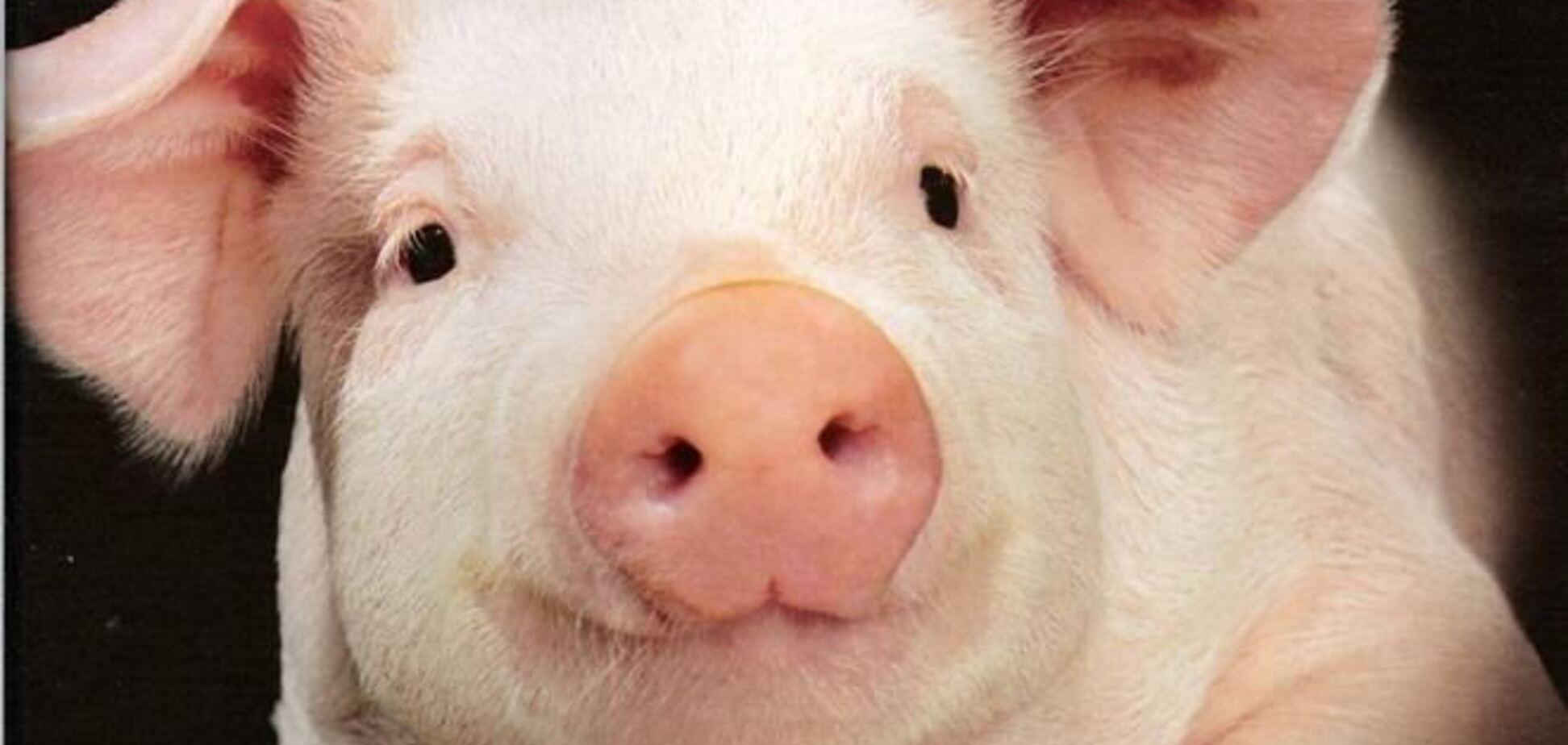 В милиции Чехии новый сотрудник – свинка по имени Оливер