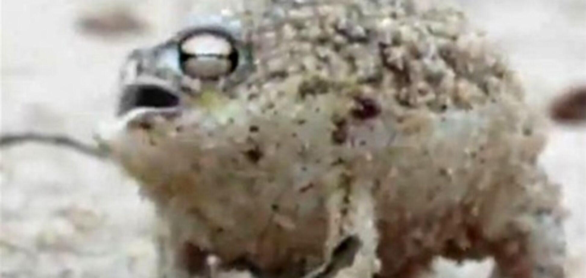 Пищати жаба б'є рекорди переглядів в Інтернеті. Відео