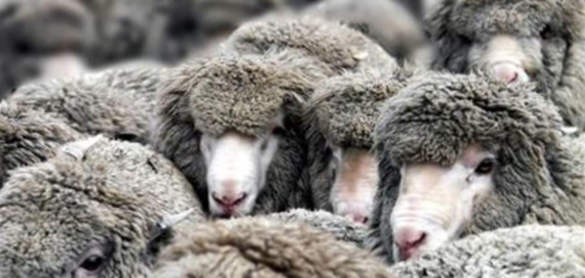 На Одесщине у пастуха злодеи украли 300 овец