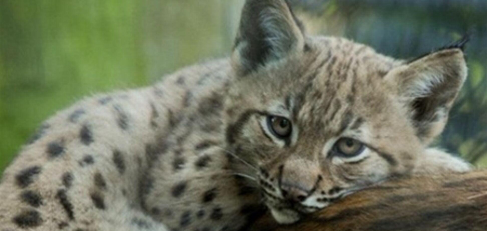 В Киевском зоопарке родилась рысь