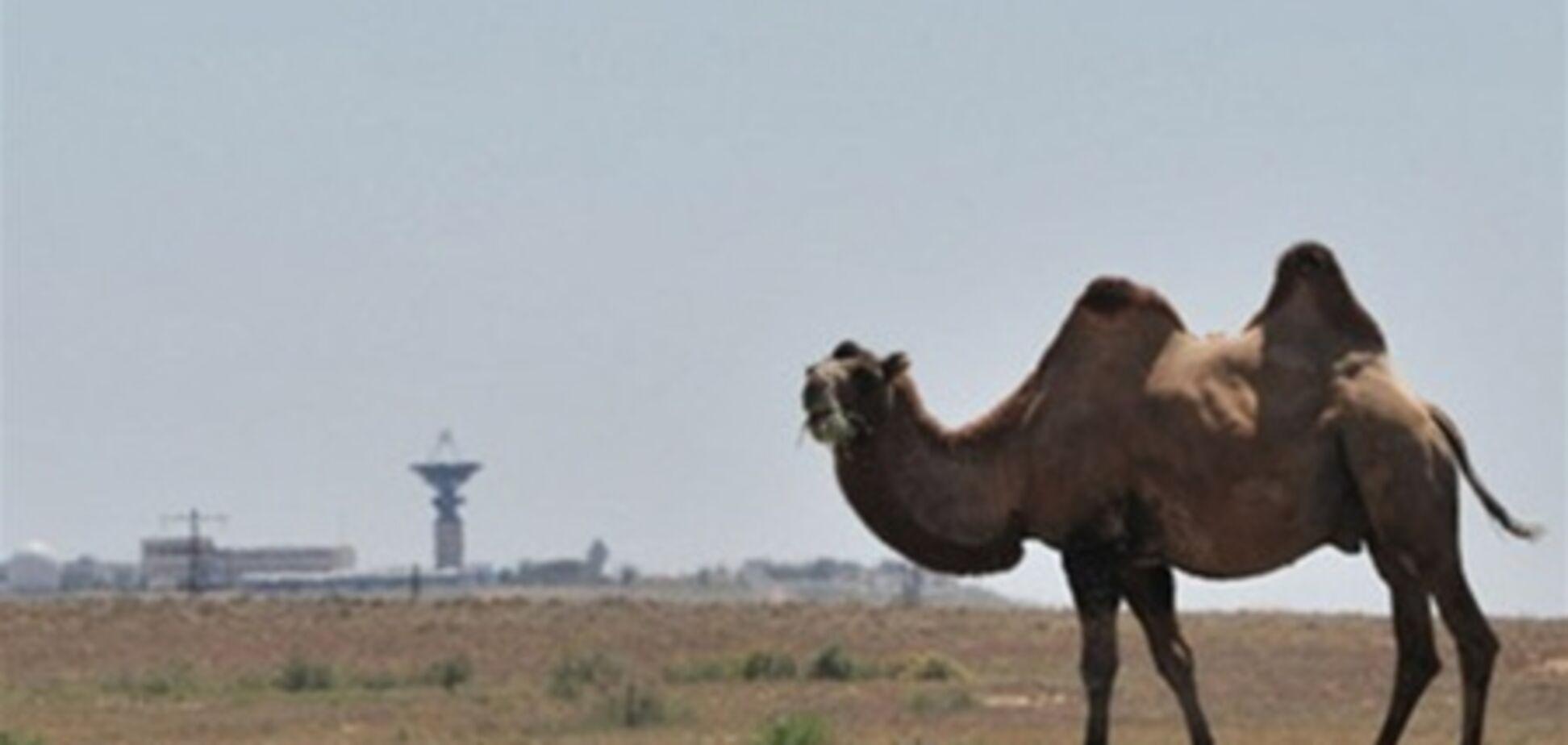 У Казахстані на верблюдів повісять світловідбивачі