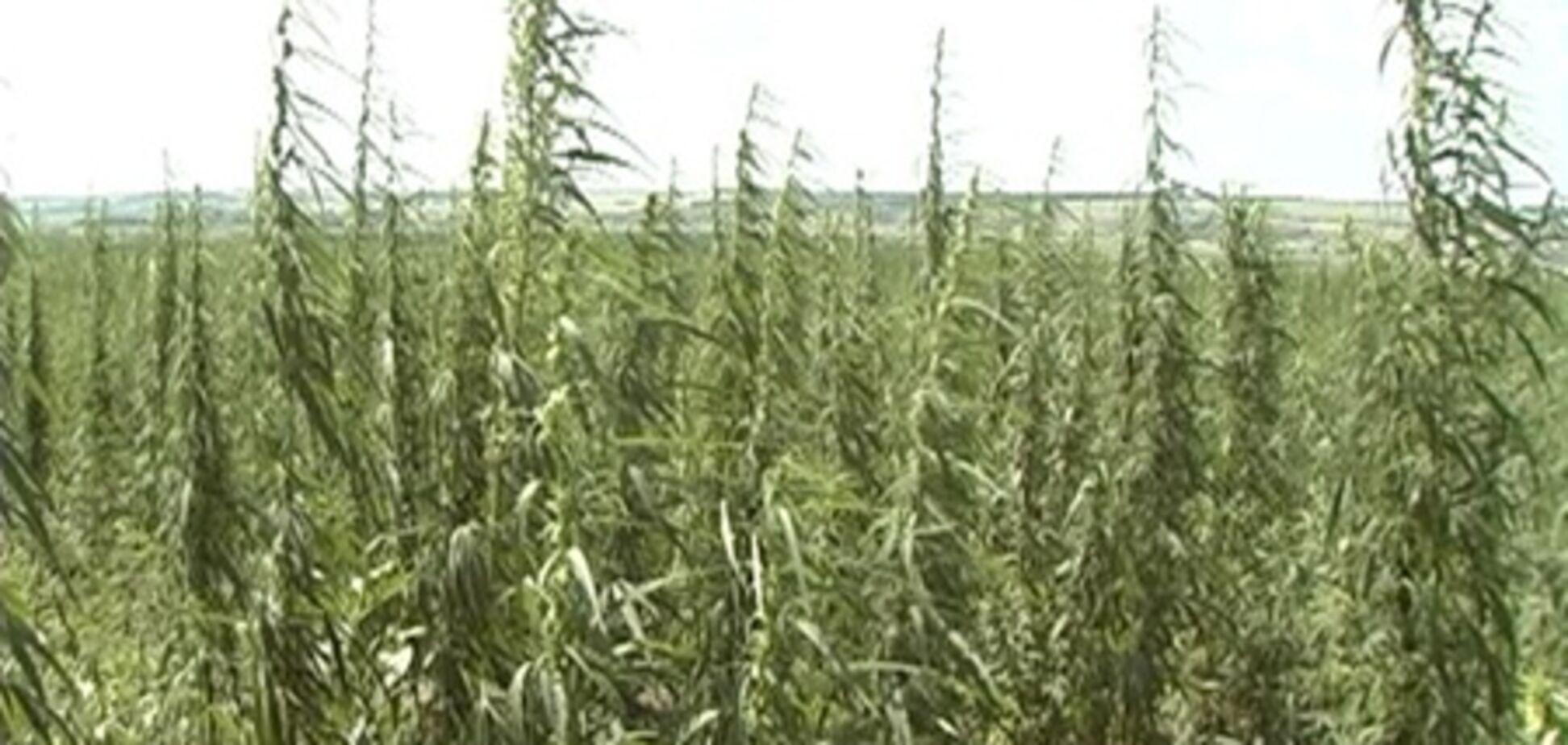 На Харківщині міліція зібрала рекордний урожай конопель