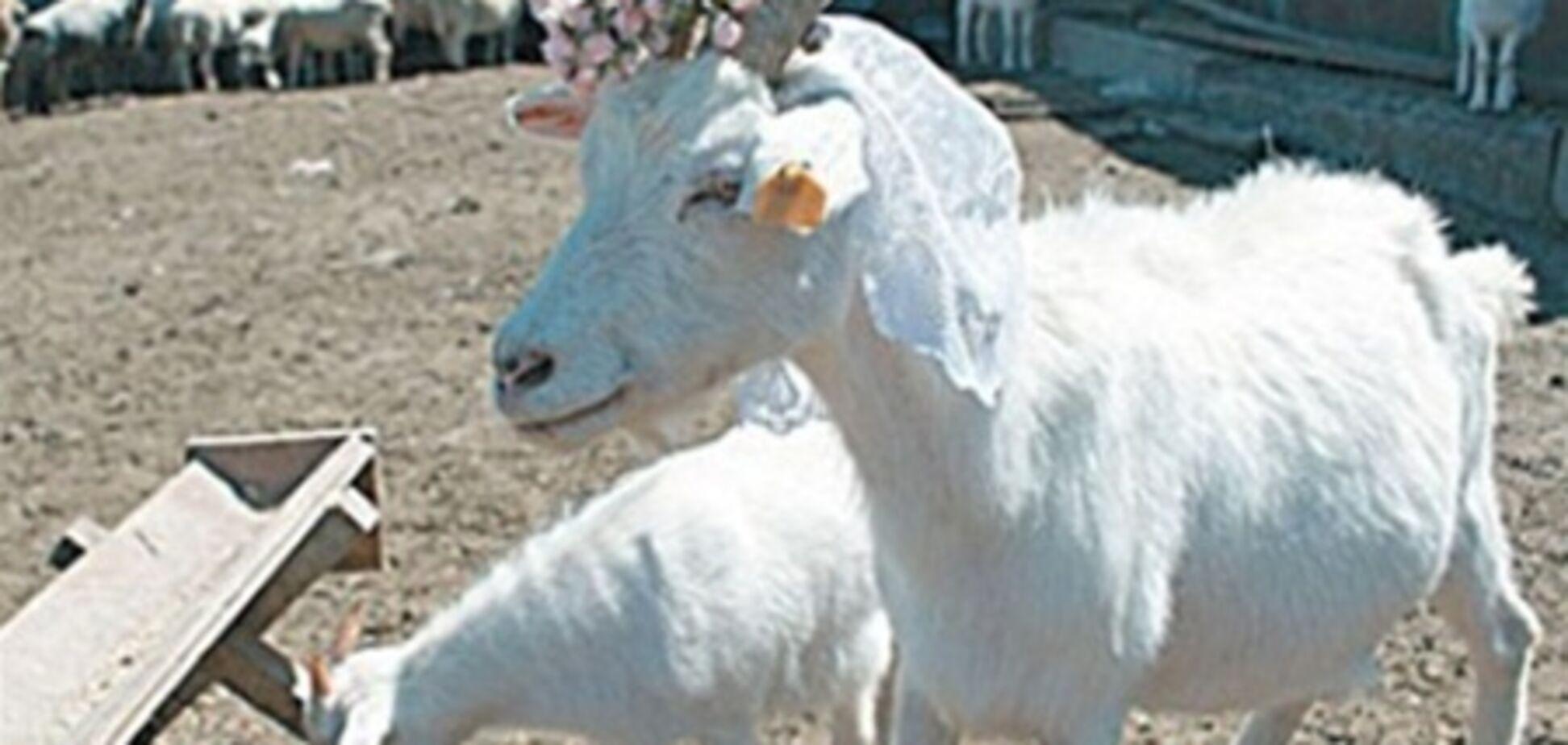 В России коза выиграла фотоконкурс 'племенных красавцев'