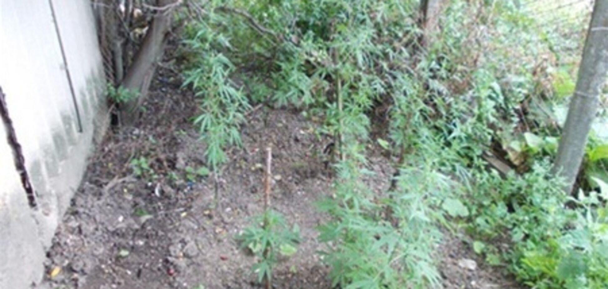 В Крыму безработный выращивал коноплю для 'лечения кур'