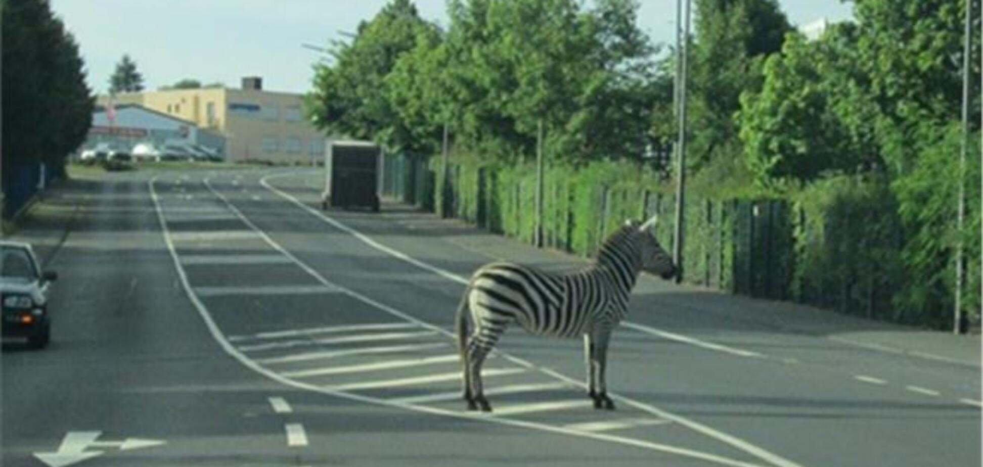 В Германии сбежавшую зебру нашли на полосатом островке безопасности