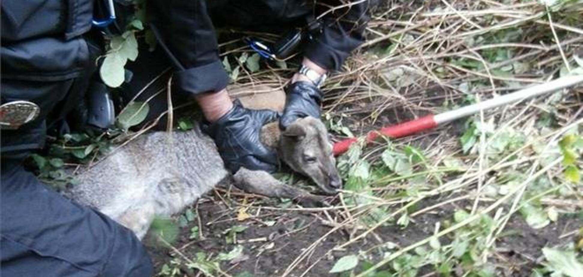 У Чехії кенгуру пограбував магазин