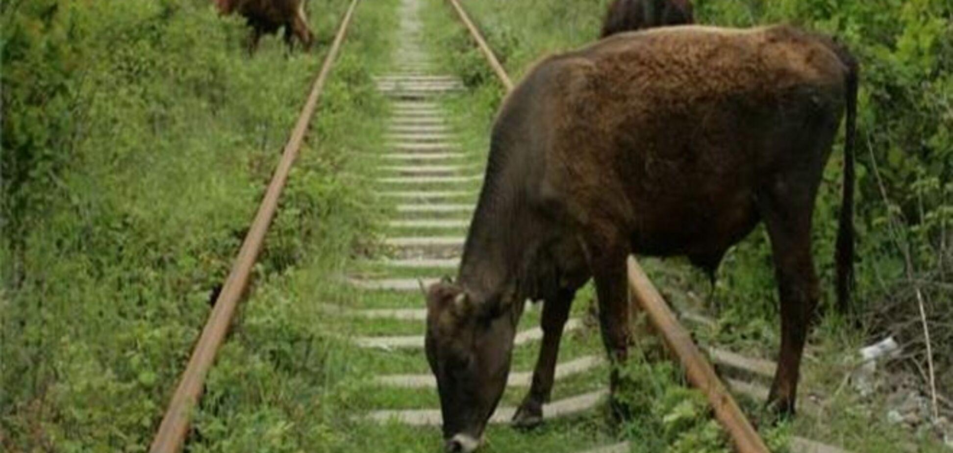 Поїзд Мінськ-Москва збив 52 корови