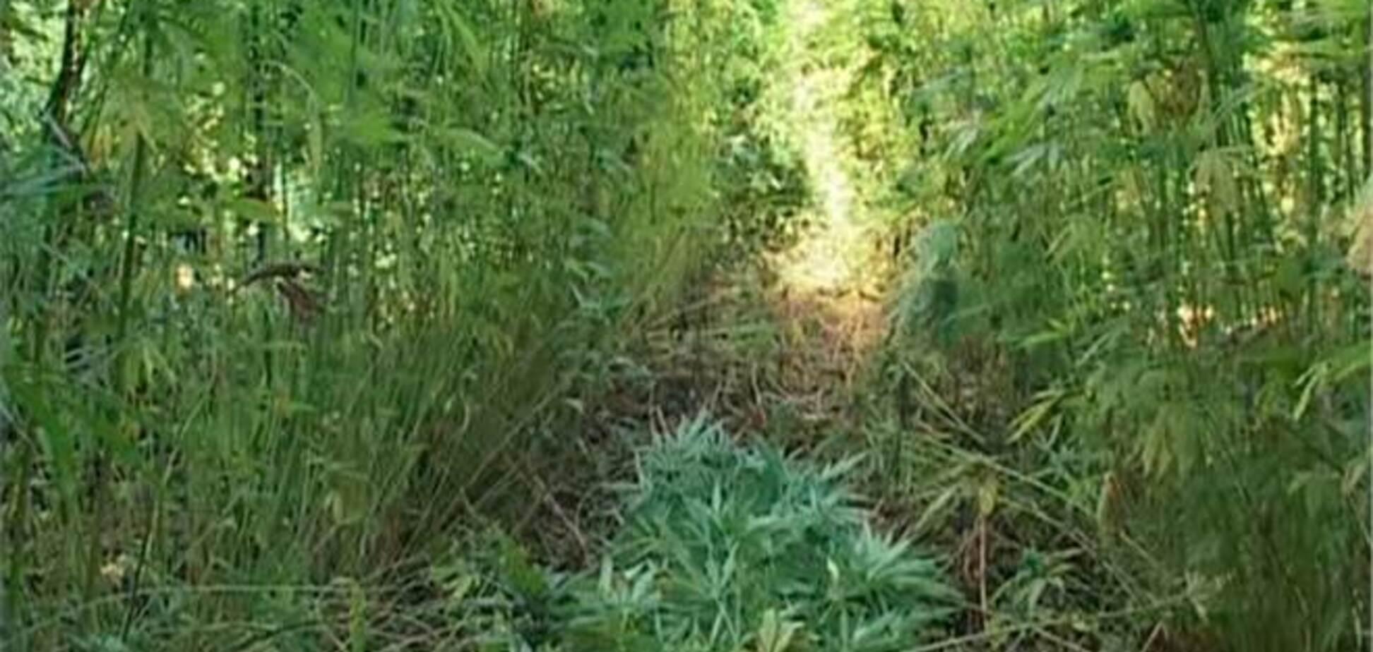 На Луганщині знайшли плантацію з триметрової коноплею