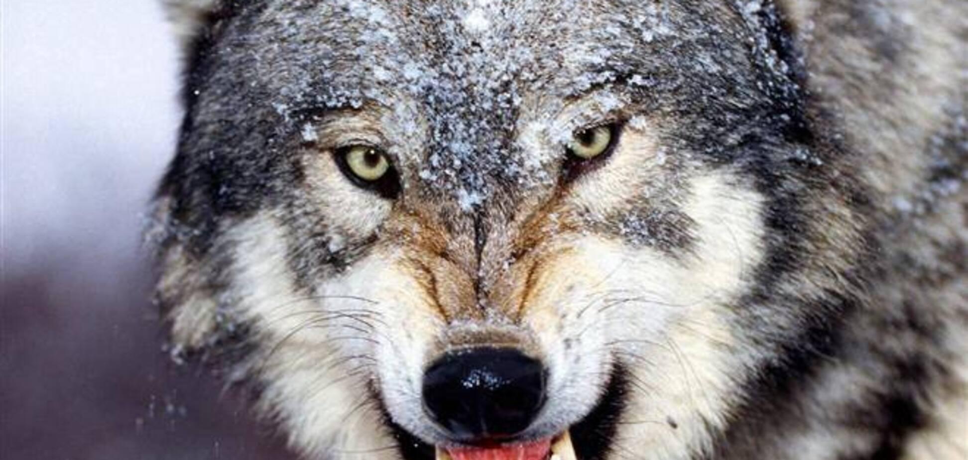 На Житомирщині вовк забіг у село і покусав жінок