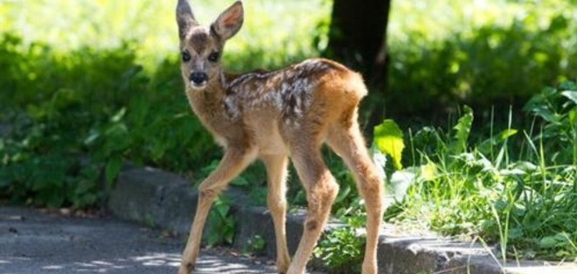 У київському зоопарку померла остання косуля