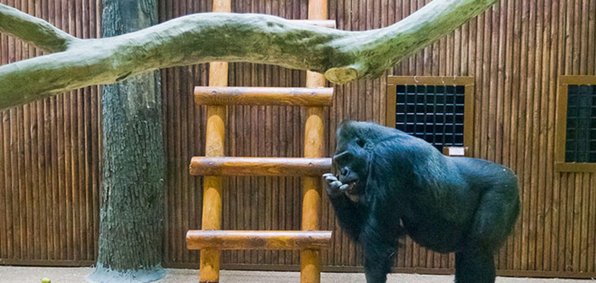 Невеста Кличко построила домик киевской горилле