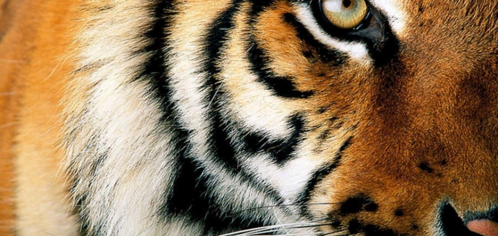 Тигриця, яку Путін випустив на волю, вигнала вовків із заповідника
