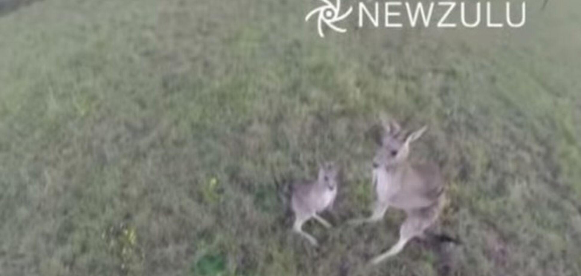 В Австралії кенгуру збив обридлий йому безпілотник: опубліковано відео