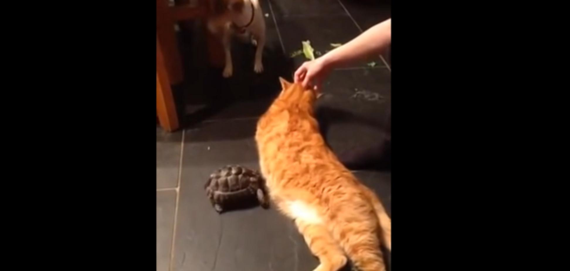 На YouTube появилось видео, на котором черепаха нападает на кота