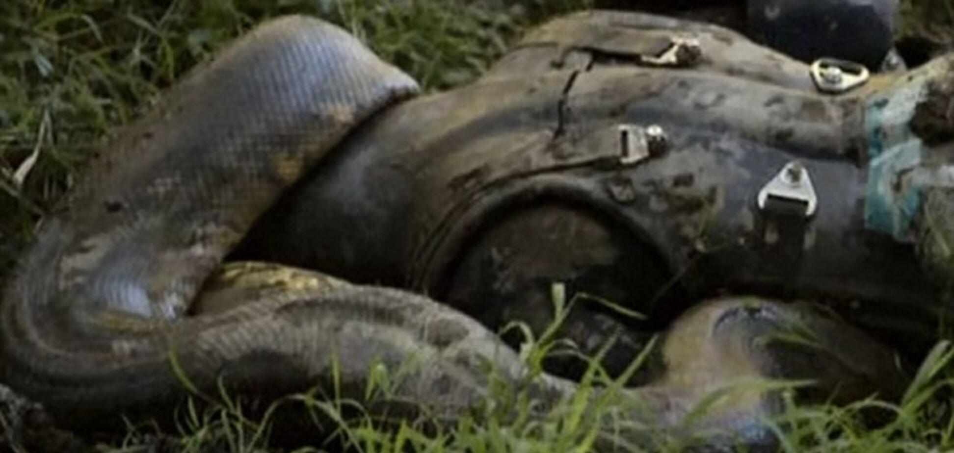 Анаконда так и не смогла проглотить человека в прямом эфире: ученый спасовал