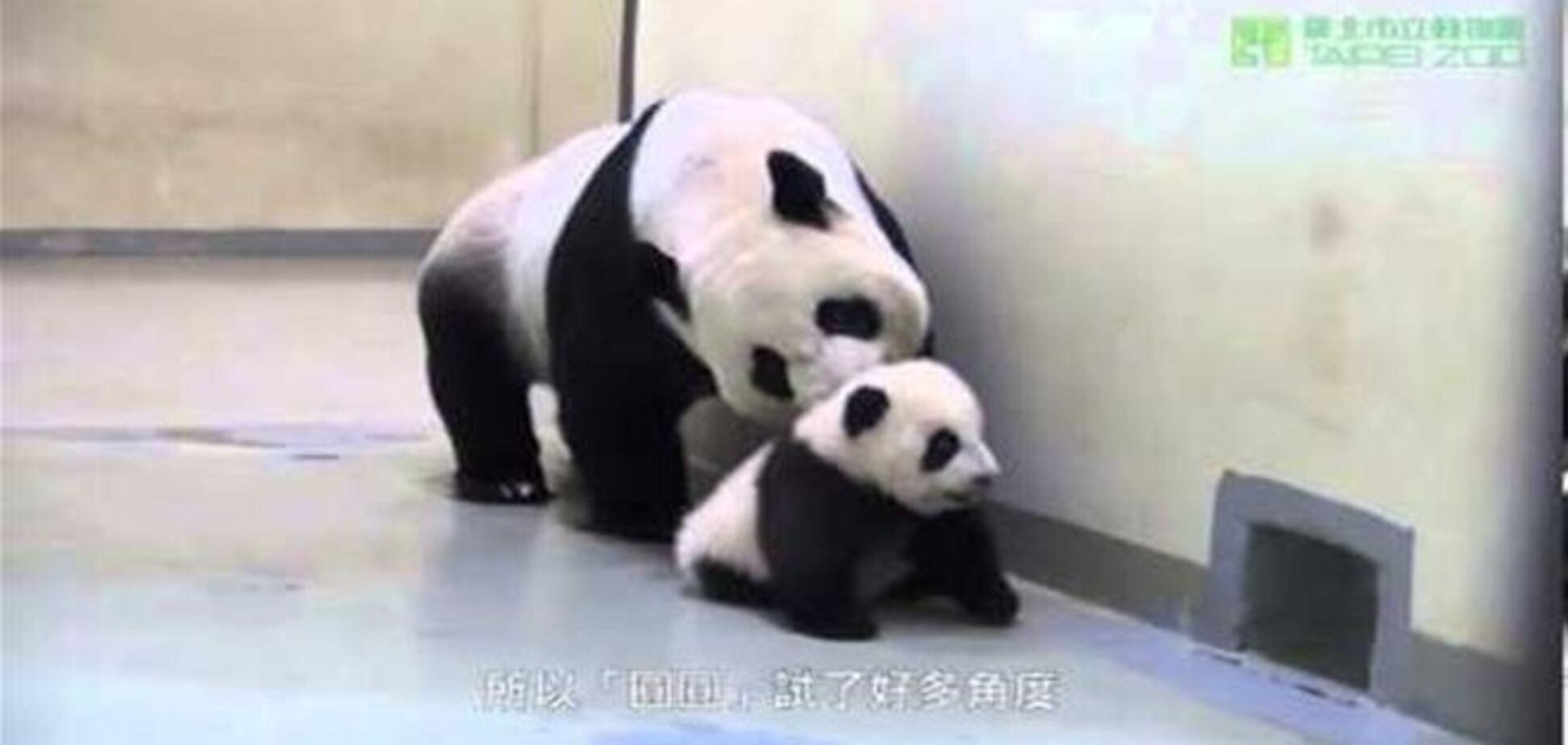 Мама-панда укладывает спать своего непослушного малыша