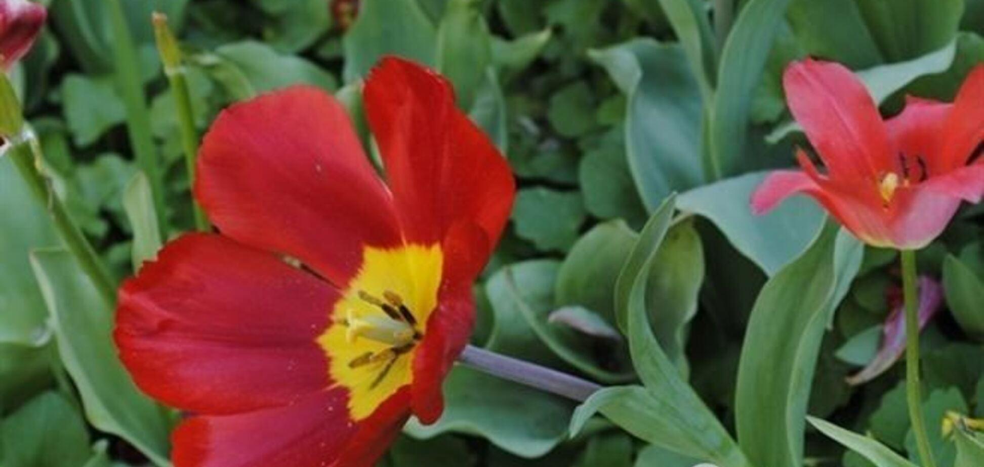 Выставку тюльпанов на Певческом поле откроют 19 апреля