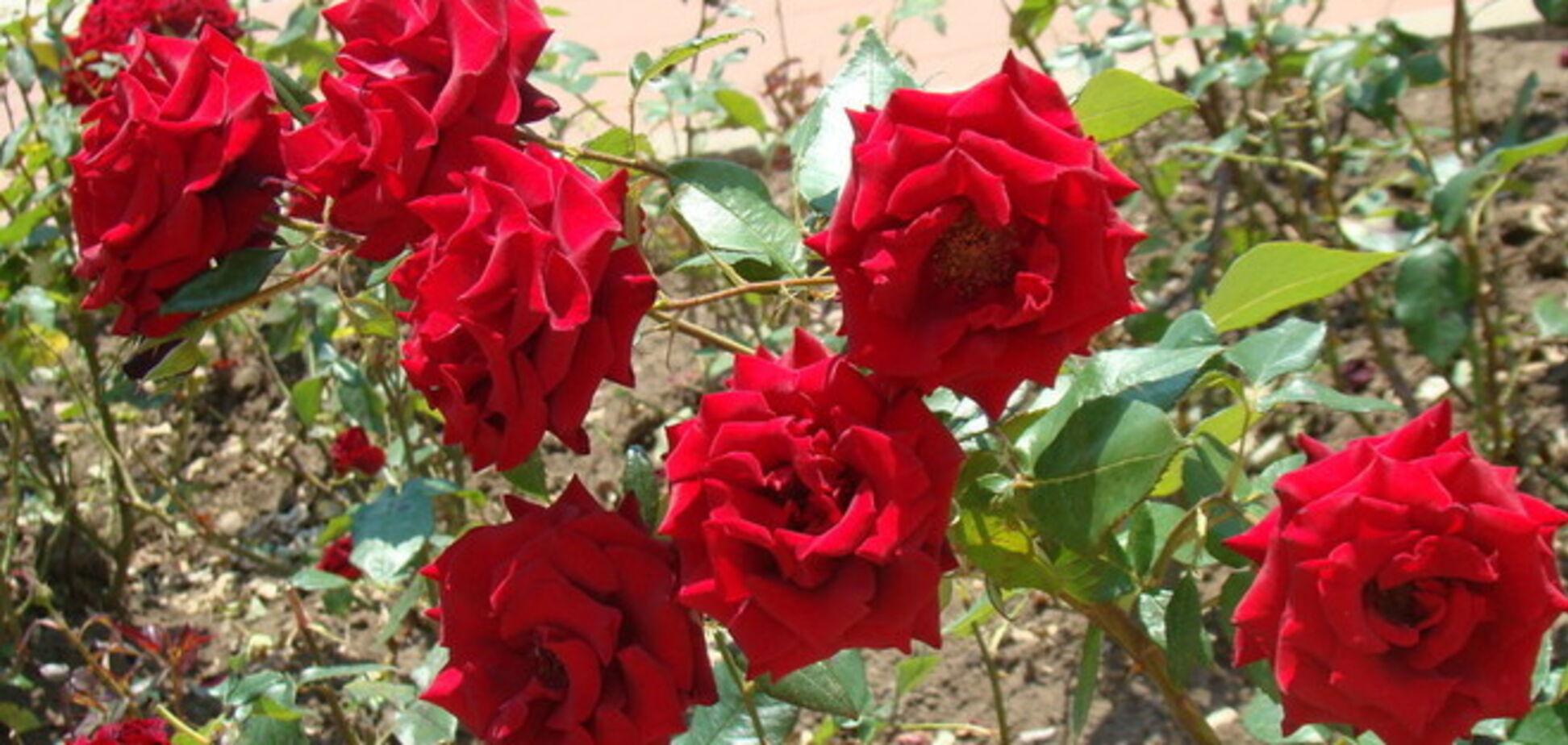 На клумбах в Киеве украли полторы тысячи кустов роз
