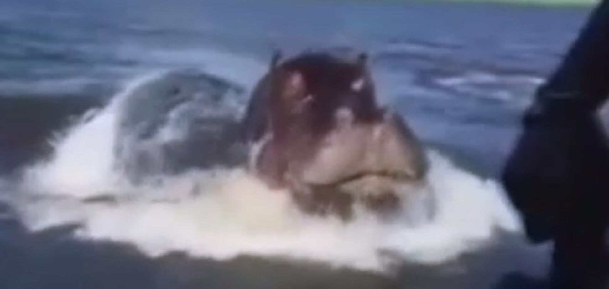 Бегемот накинувся на моторний човен в Замбії: опубліковано відео