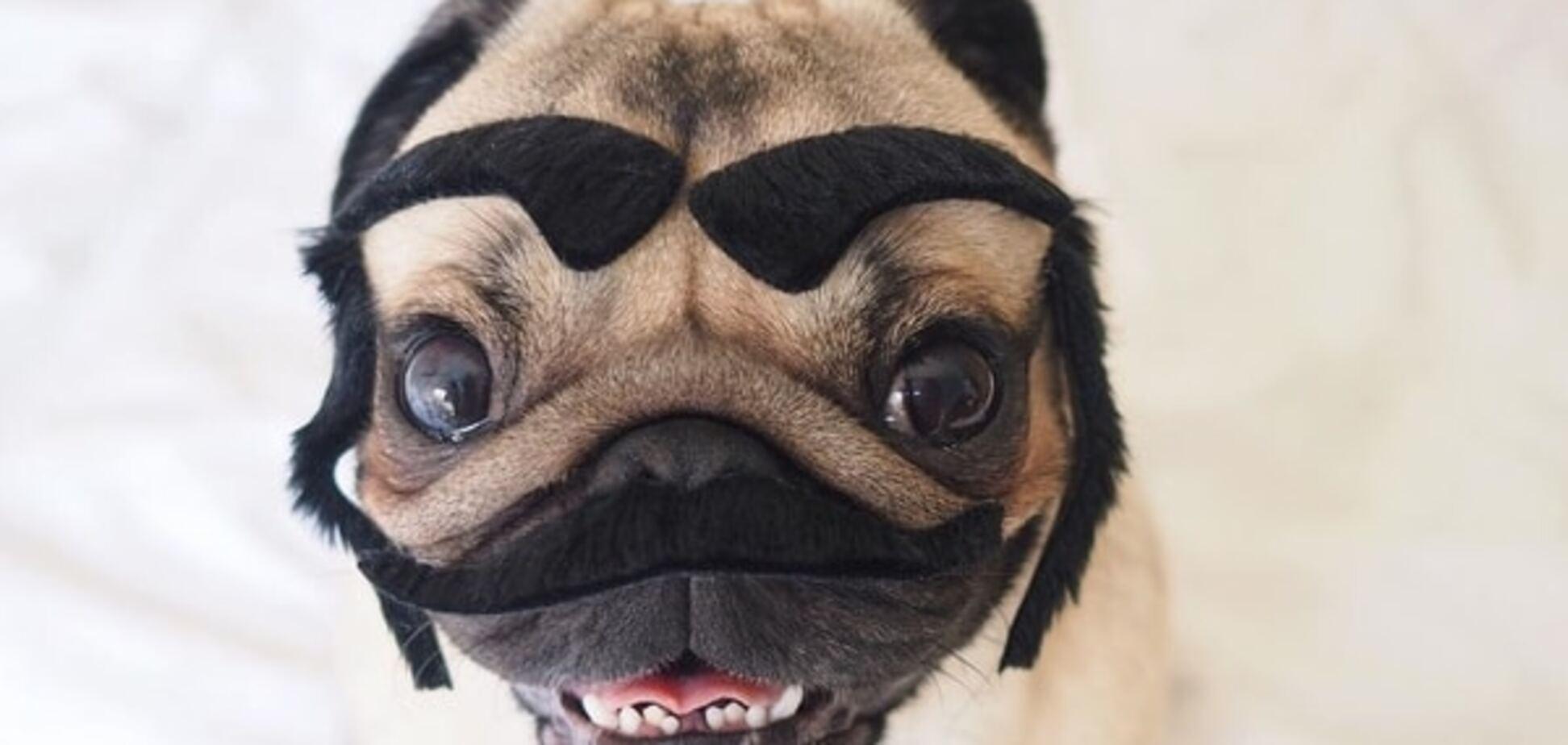Справжній мачо: мопс-хіпстер став улюбленцем Instagram