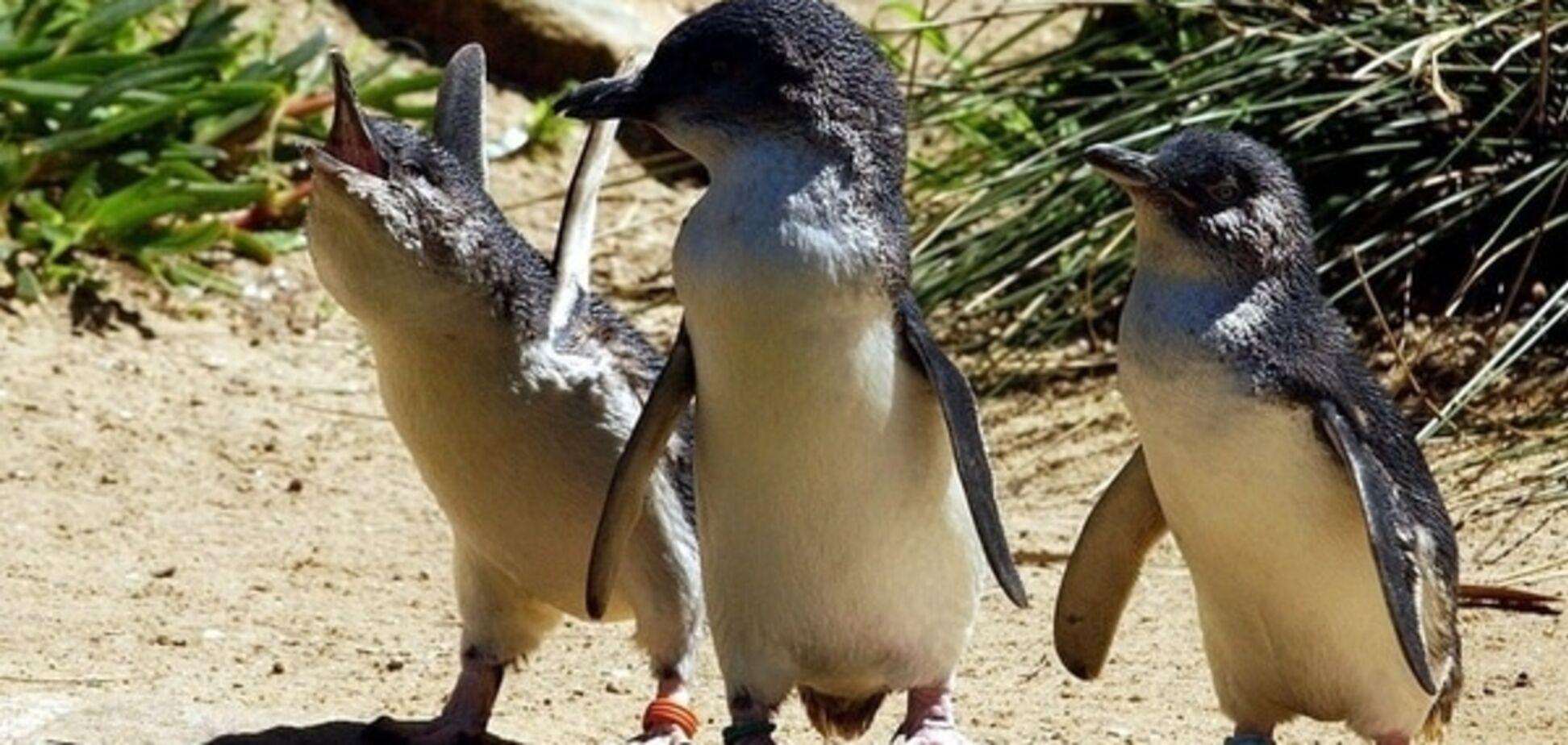 В австралийском зоопарке лисица задушила 14 маленьких пингвинов