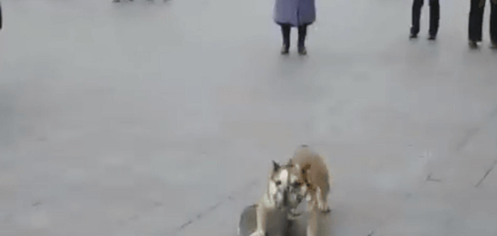 Новорічна зірка мережі: в Одесі бульдог влаштував шоу на скейті під головною ялинкою. Кумедне відео