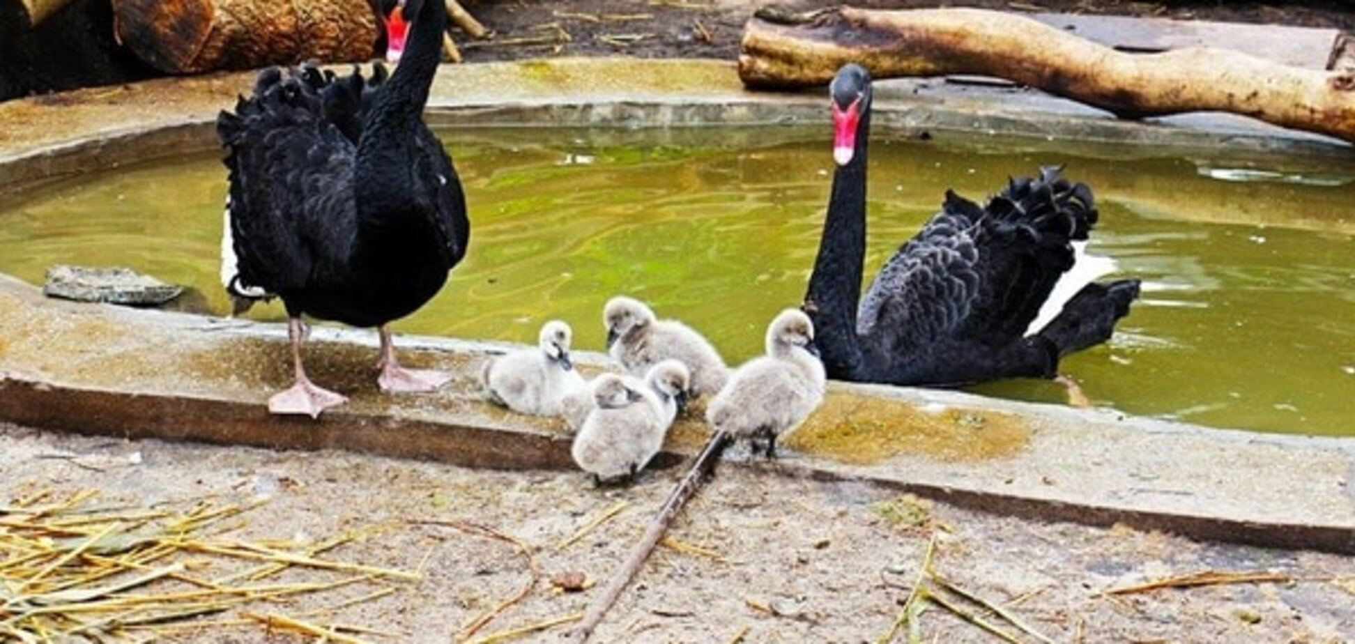 У київському зоопарку народилися 'бридкі каченята': опубліковано фото