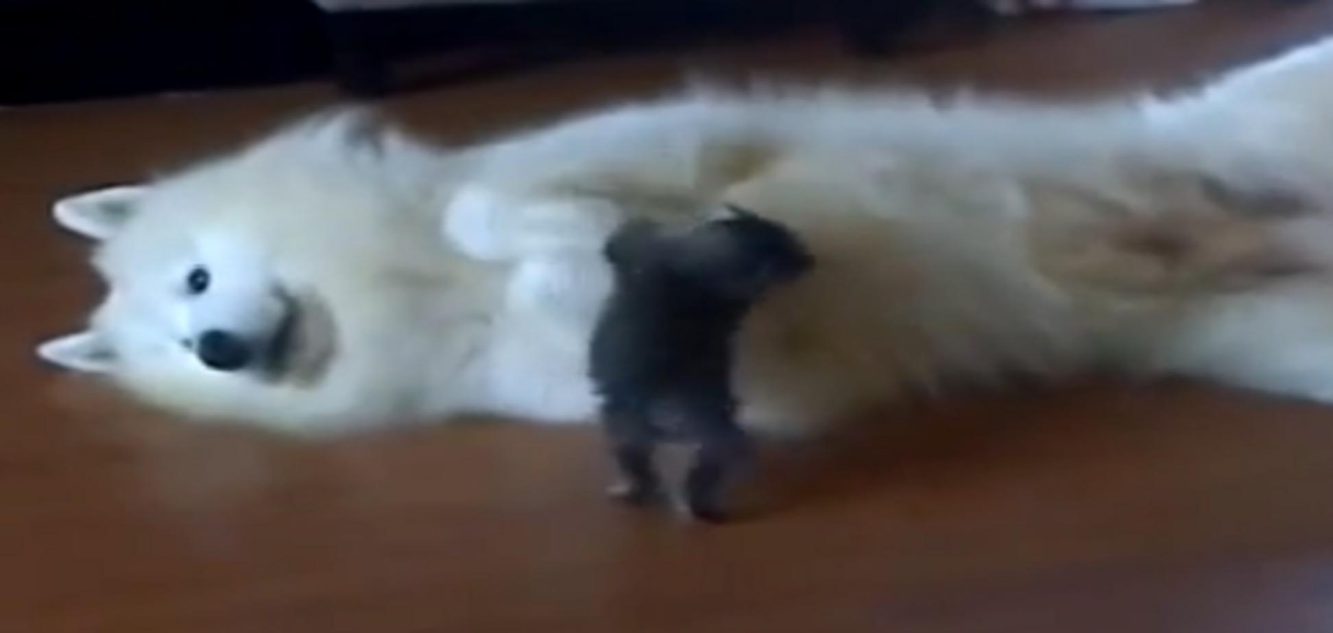 Котенок активно пытается поиграть с большой собакой. Видеофакт
