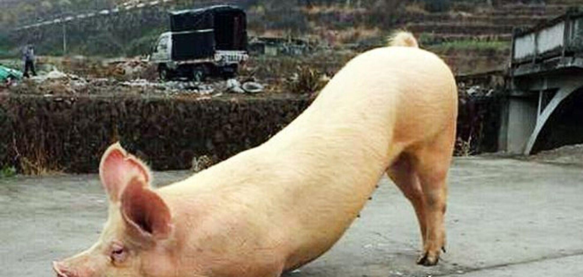 Преклонившаяся перед храмом свинья стала новым интернет-хитом: фото и видео