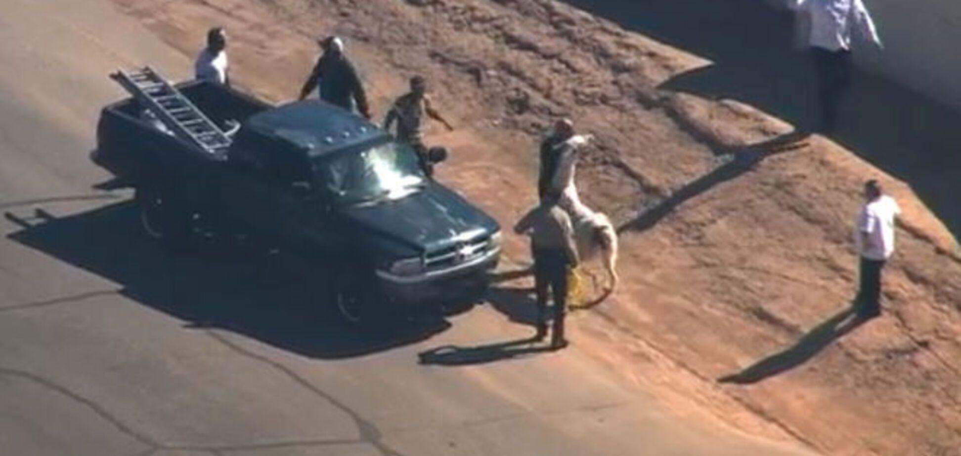 Полицейское 'сафари'. В Аризоне офицеры час гонялись за двумя ламами: фото- и видеофакт