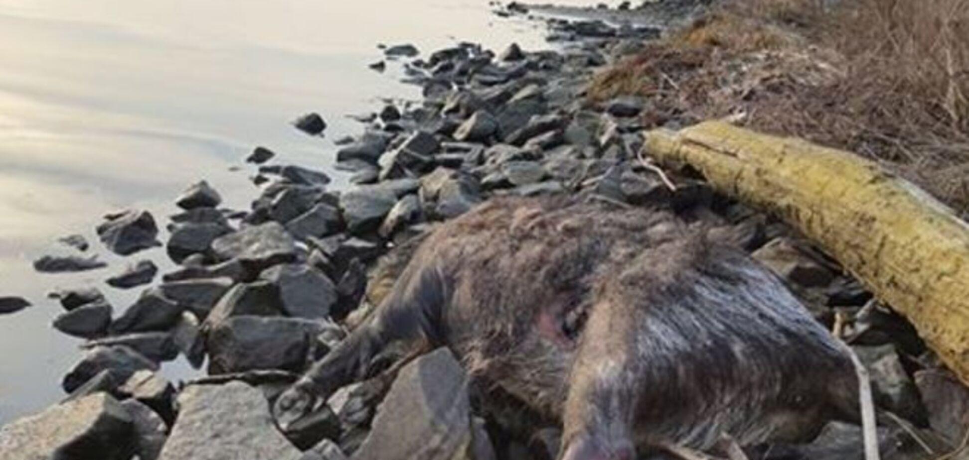 В Киеве выбросило из Днепра мертвых кабанов