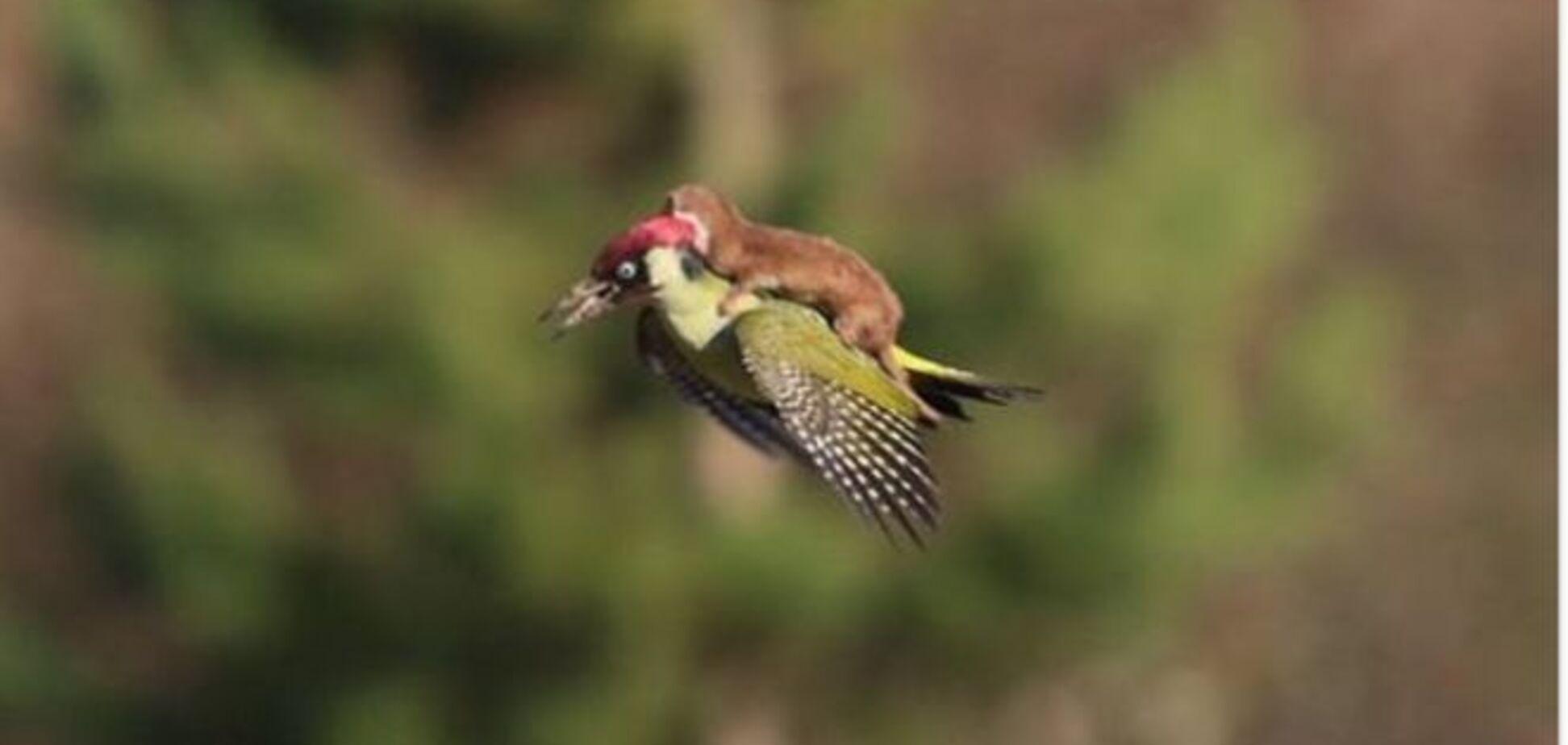 Неймовірні фото: у Лондоні ласка покаталася на дятлі, що летів