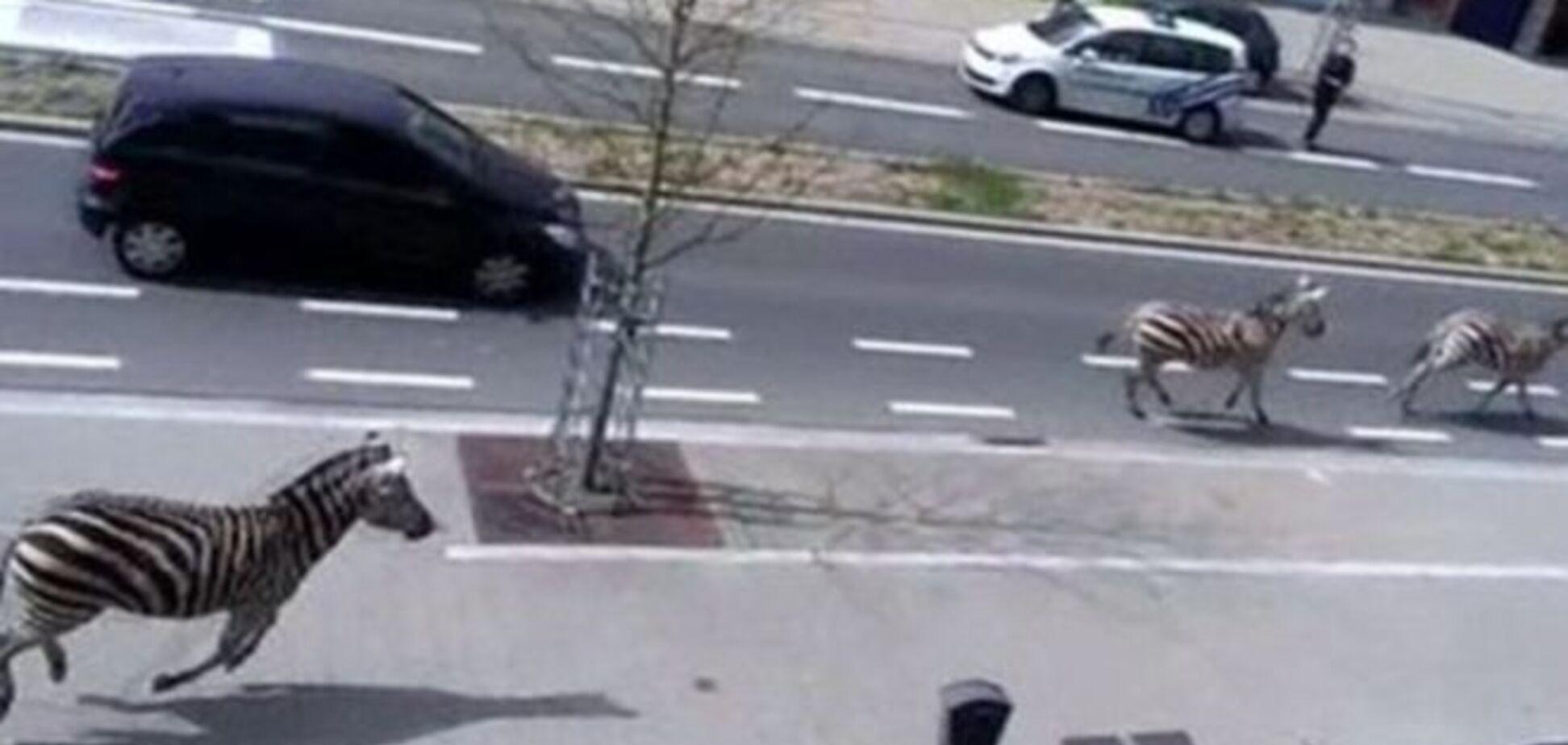 Три зебры выбрались из неволи и прискакали в центр Брюсселя: видеофакт