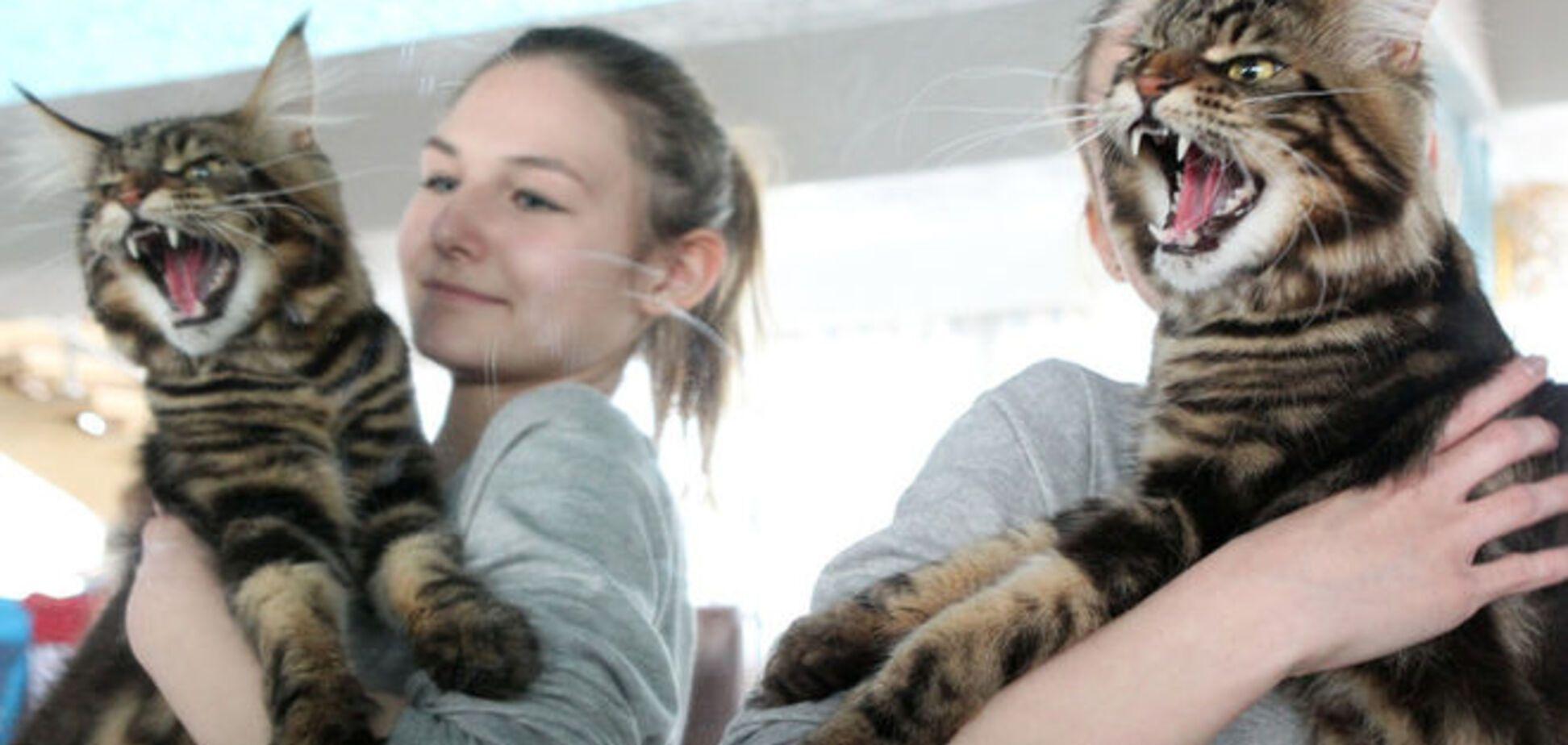 На выставке кошек в Бишкеке показали гигантских 'вопящих' мэйн-кунов: фотофакт