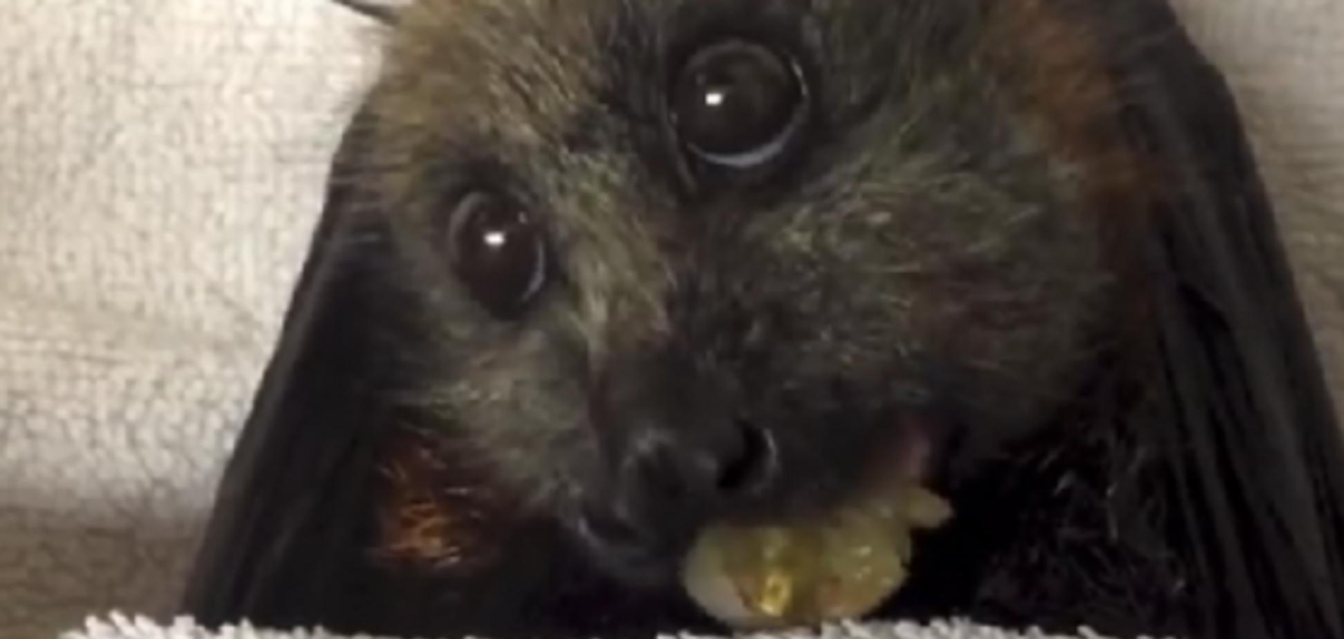 Летучая лисица, жующая виноград шокировала весь интернет: видео